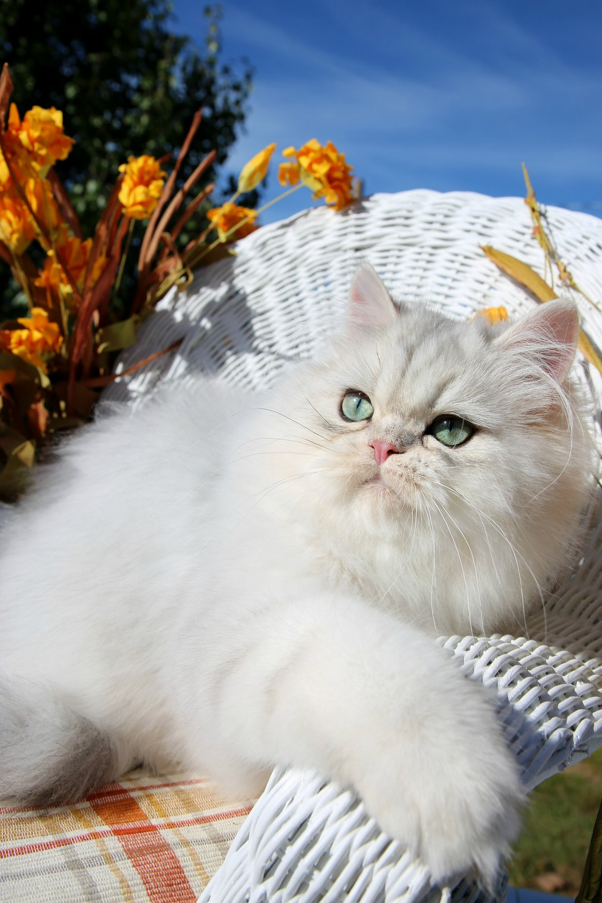 Silver Persian KittensUltra Rare Persian Kittens For Sale – 660