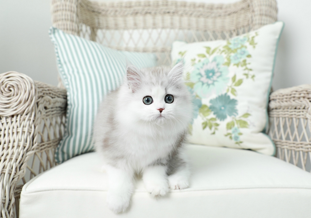 Silver Tabby and White Persian