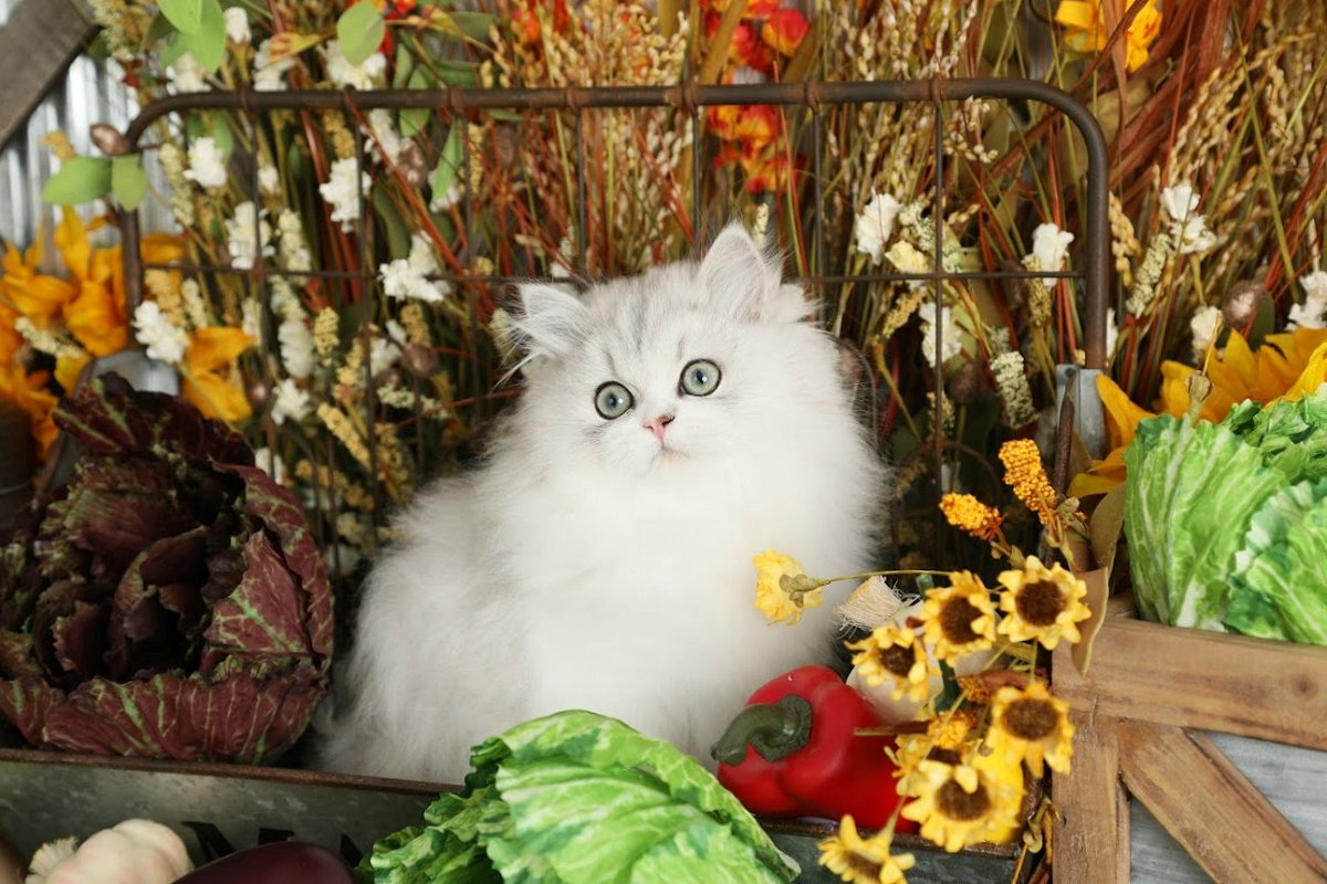 Silver & White Bicolor Persian Kitten