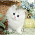 Doll Face Persian Kitten