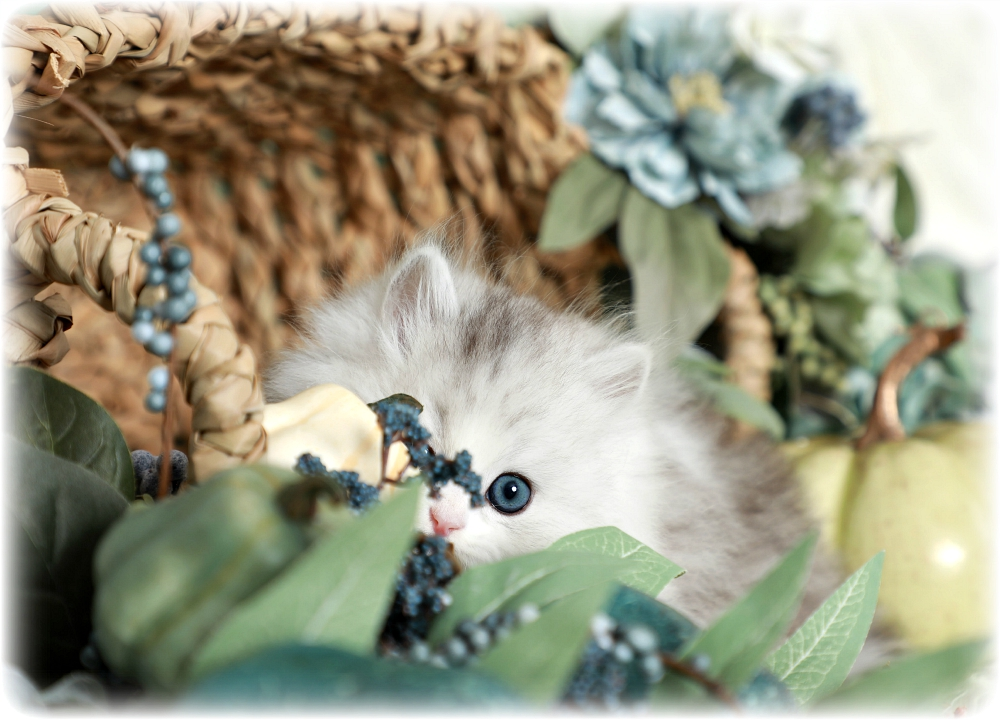Silver chinchilla & White Persian Kitten
