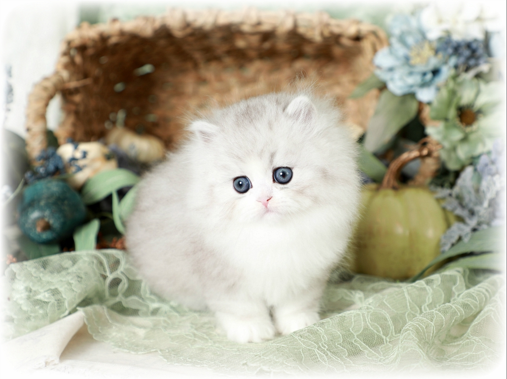 Dollface Persian Kitten for Sale