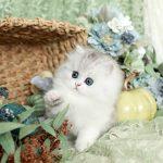 Silver Chinchilla & White Persian