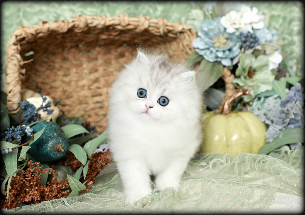Doll Face Teacup Persian