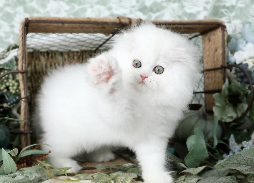 Doll face Kitten for Sale