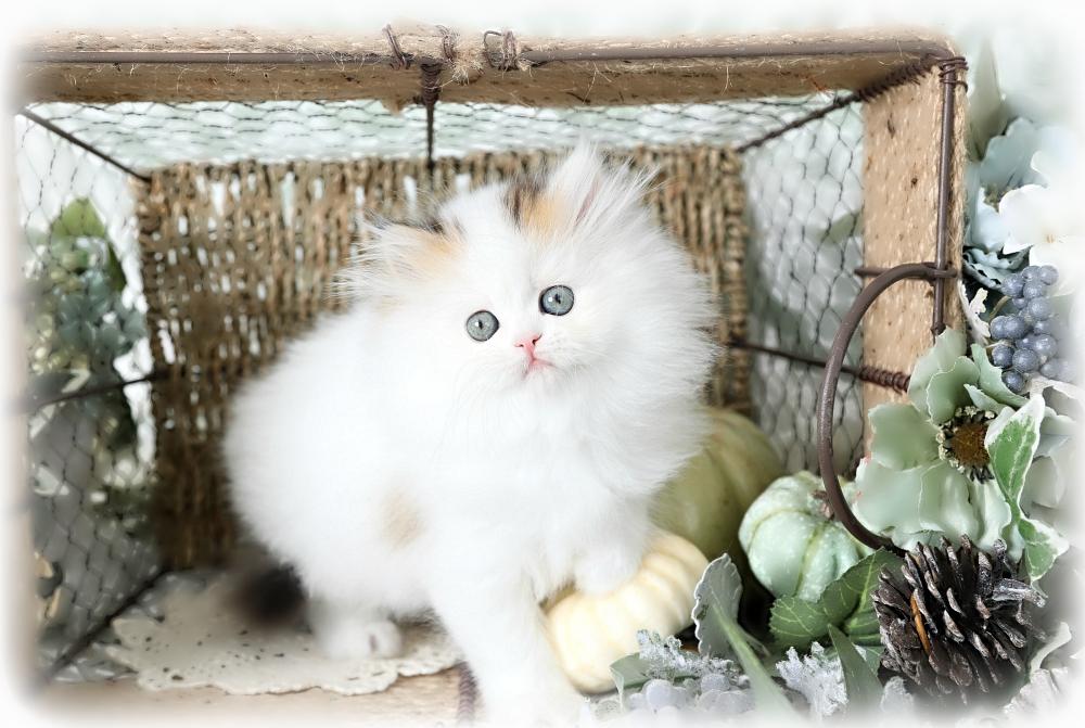 golden chinchilla and white bicolor persian kitten
