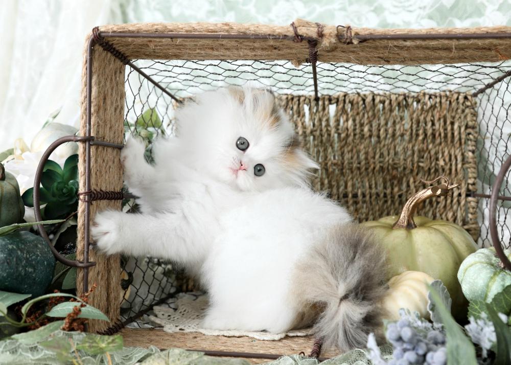 bicolor Persian kitten