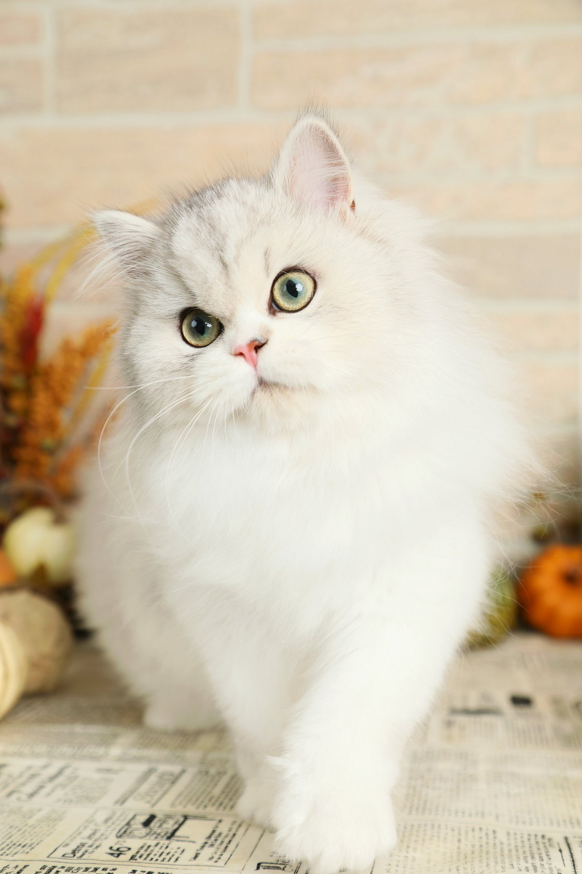 Lightly Shaded Silver & White Persian Kitten