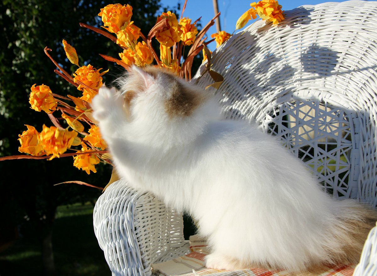 Golden Chinchilla & White Persian Kitten