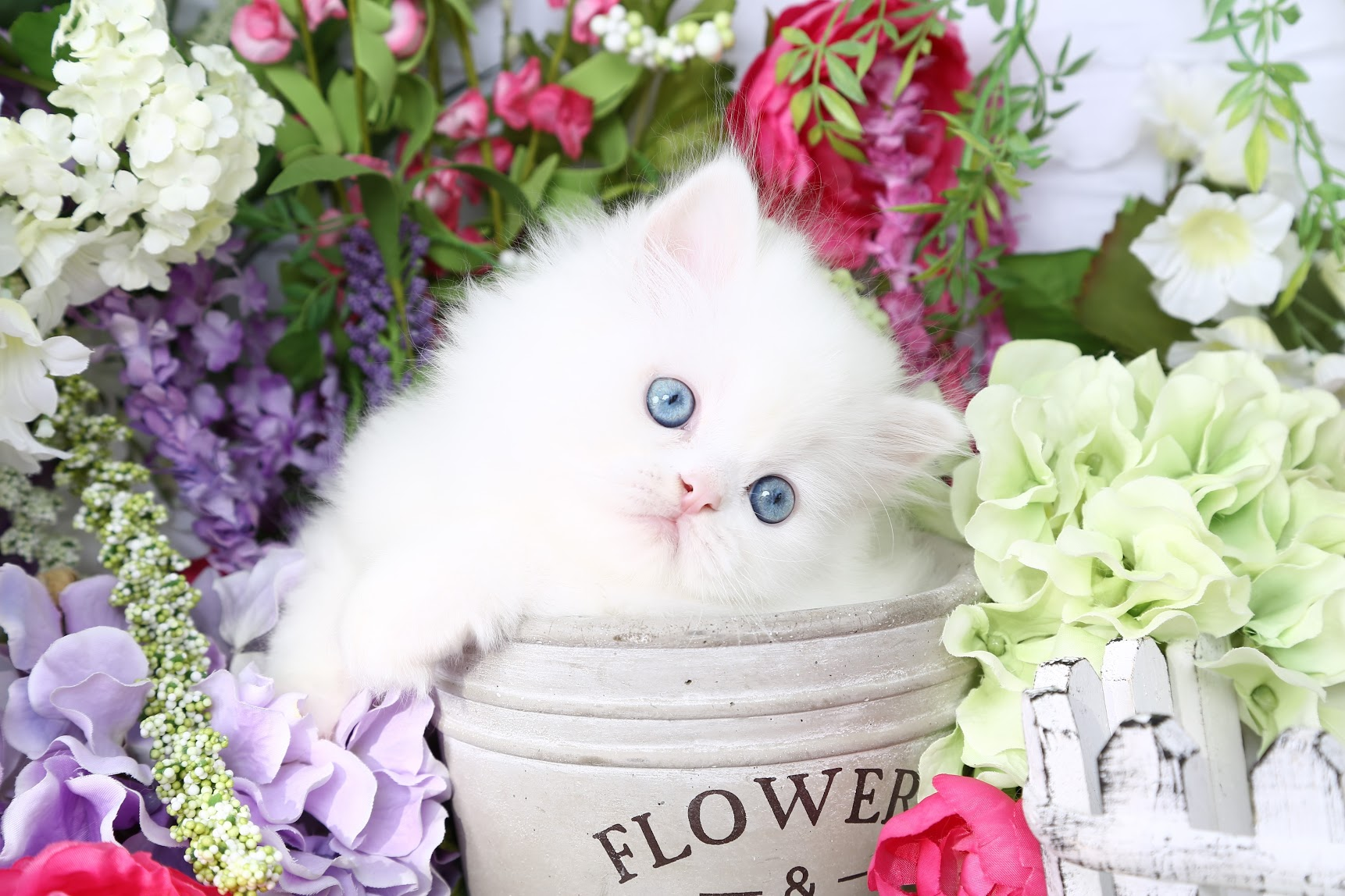 Doll Face Persian Kittens - White Persian Kitten