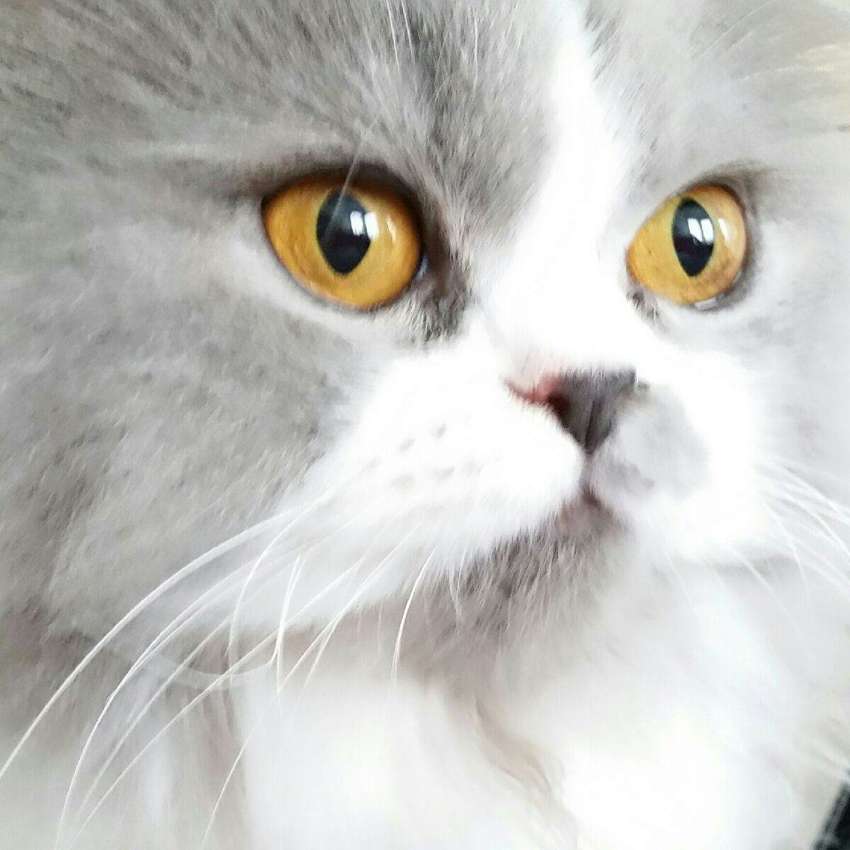 Doll Face Persian Kittens Reviews - Cooke Family