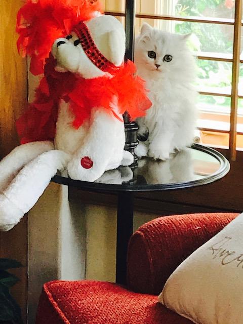 Doll Face Persian Kittens Reviews - Carol & Contessa