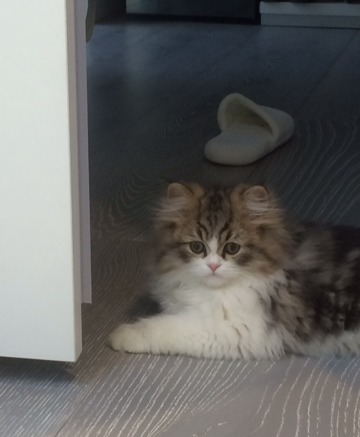 Doll Face Persian Kittens Recommendation