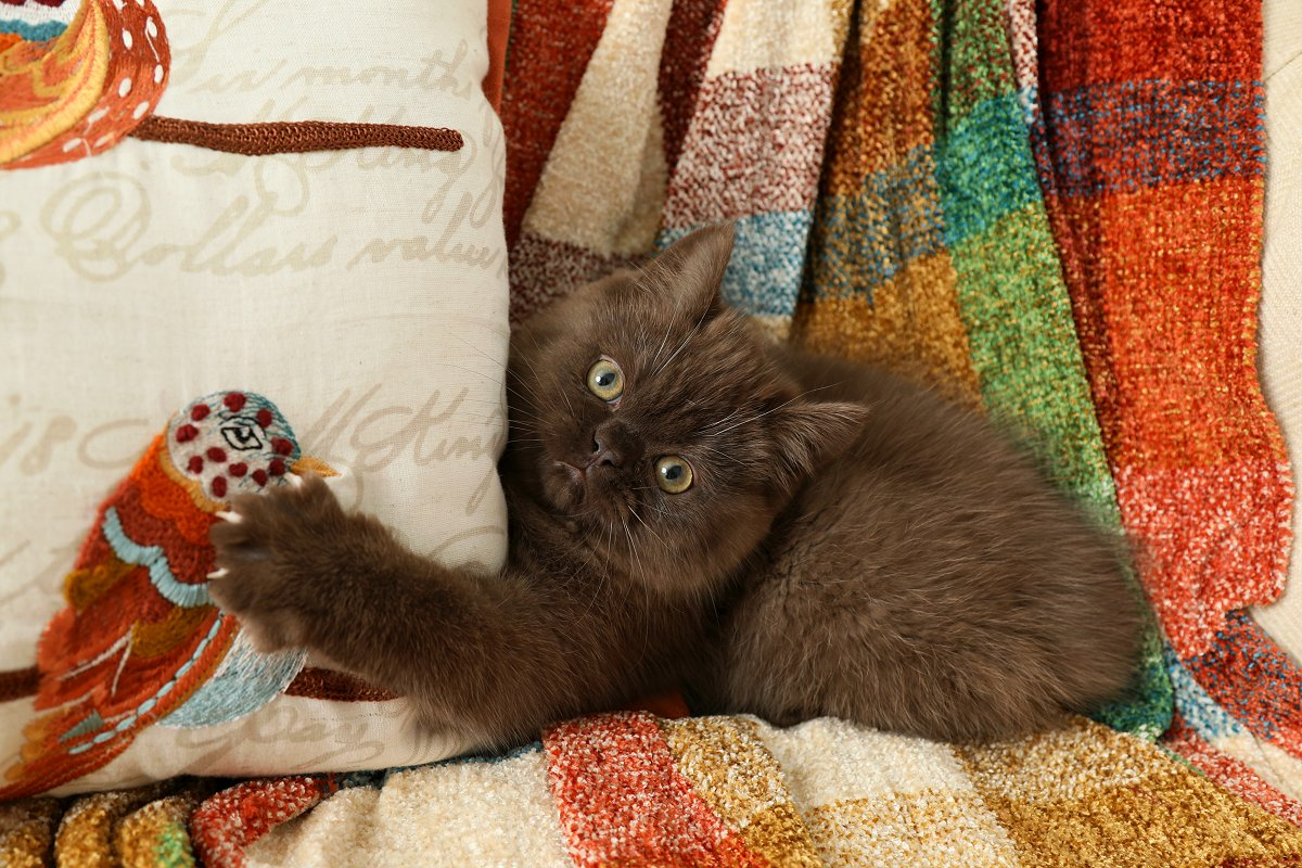 Chocolate Exotic Shorthair Persian Kitten