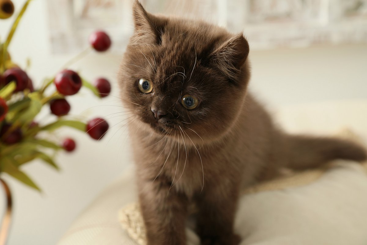 Fudgie Currently Available Solid Chocolate Exotic Short Hair Persian Kitten Teddy Bear