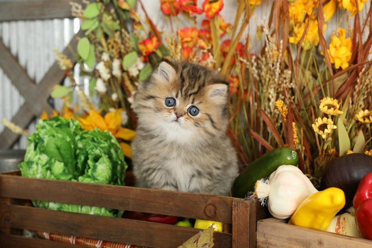 Lightly Shaded Golden Teacup Persian Kitten