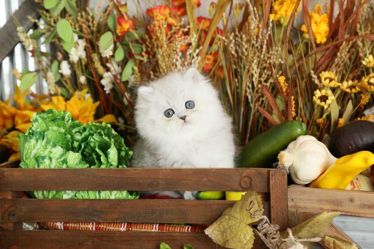 Lightly Shaded Silver Persian Kitten