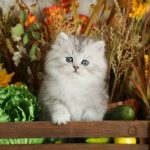 Lightly Shaded Silver Persian Kitten