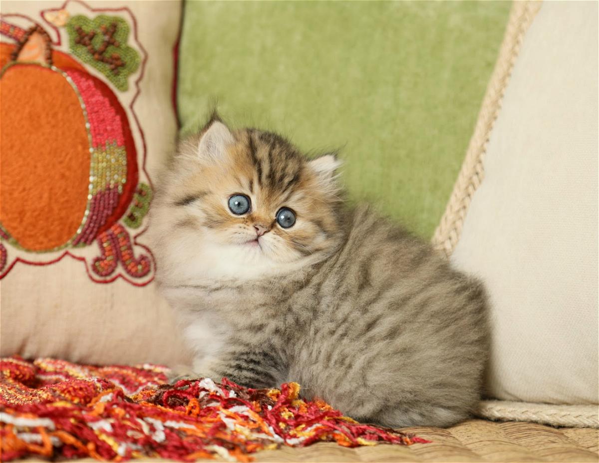 Lightly Shaded Golden Persian Kitten