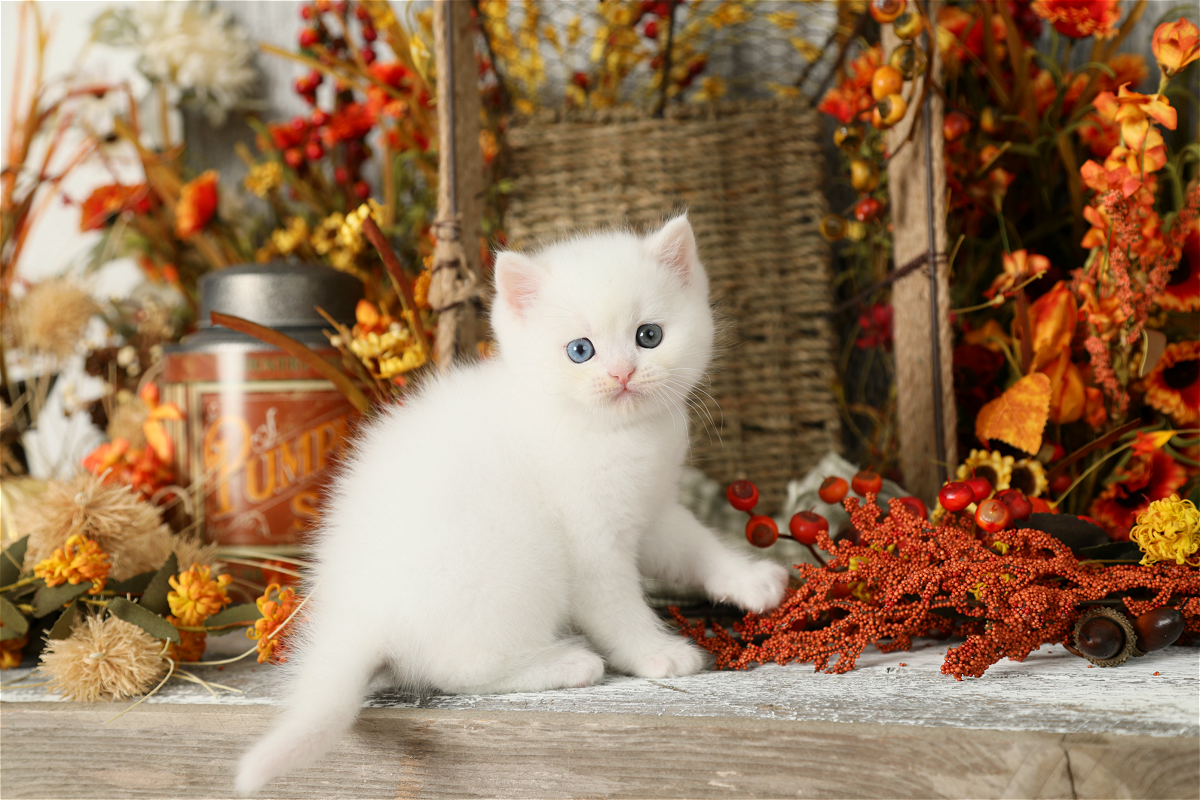 White Persian Kitten for Sale - Doll Face Persian Kitten