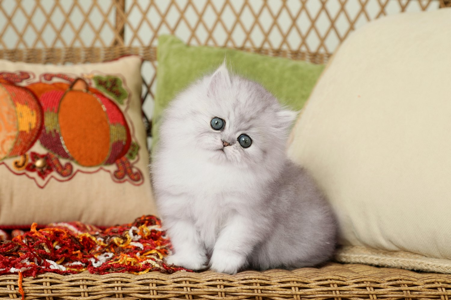 Silver Tip Persian Kitten - Doll Face Persian Kittens
