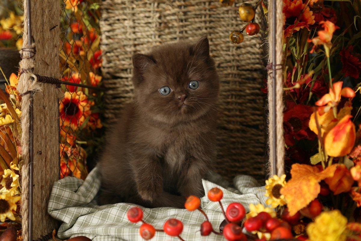 Teddy Bear Persian Kitten - Doll Face Persian Kitten