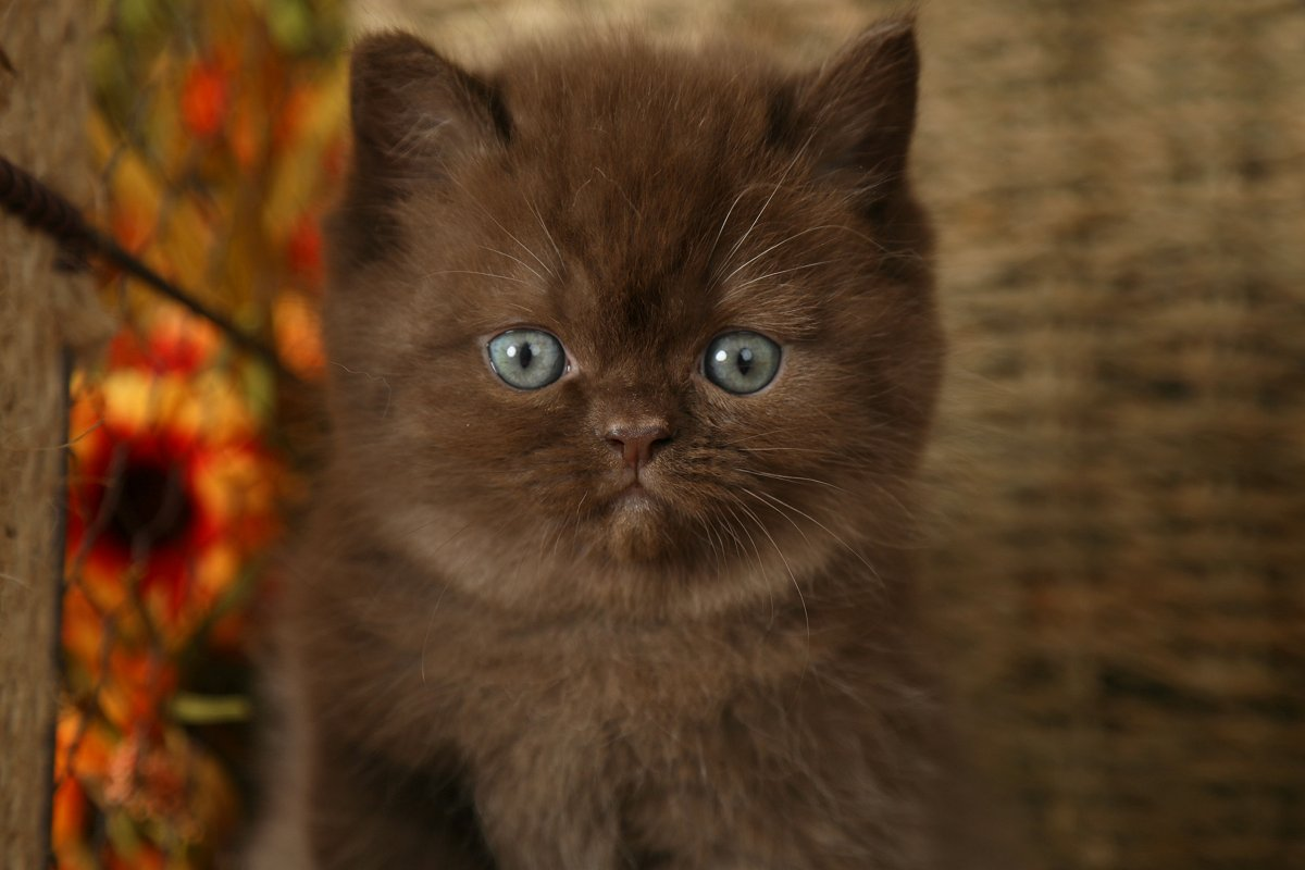 Teddy Bear Persian Kitten