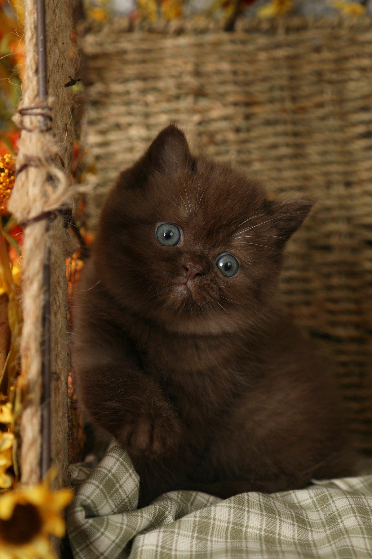 Doll Face Persian Kittens - Chocolate Persian Kitten
