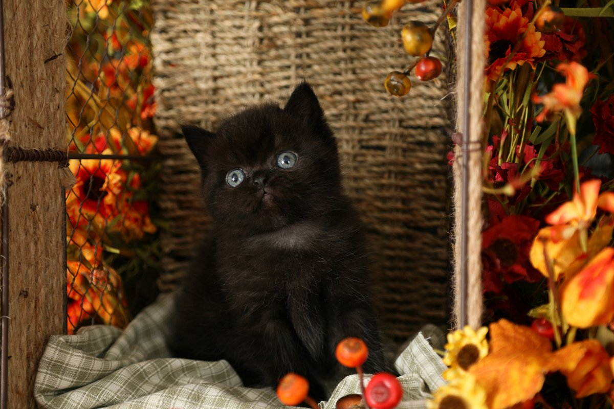 Black Exotic Shorthair Persian Kitten