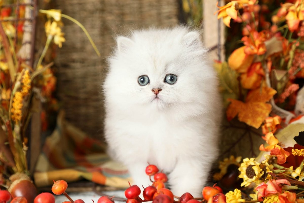Silver Chinchilla Persian Kitten