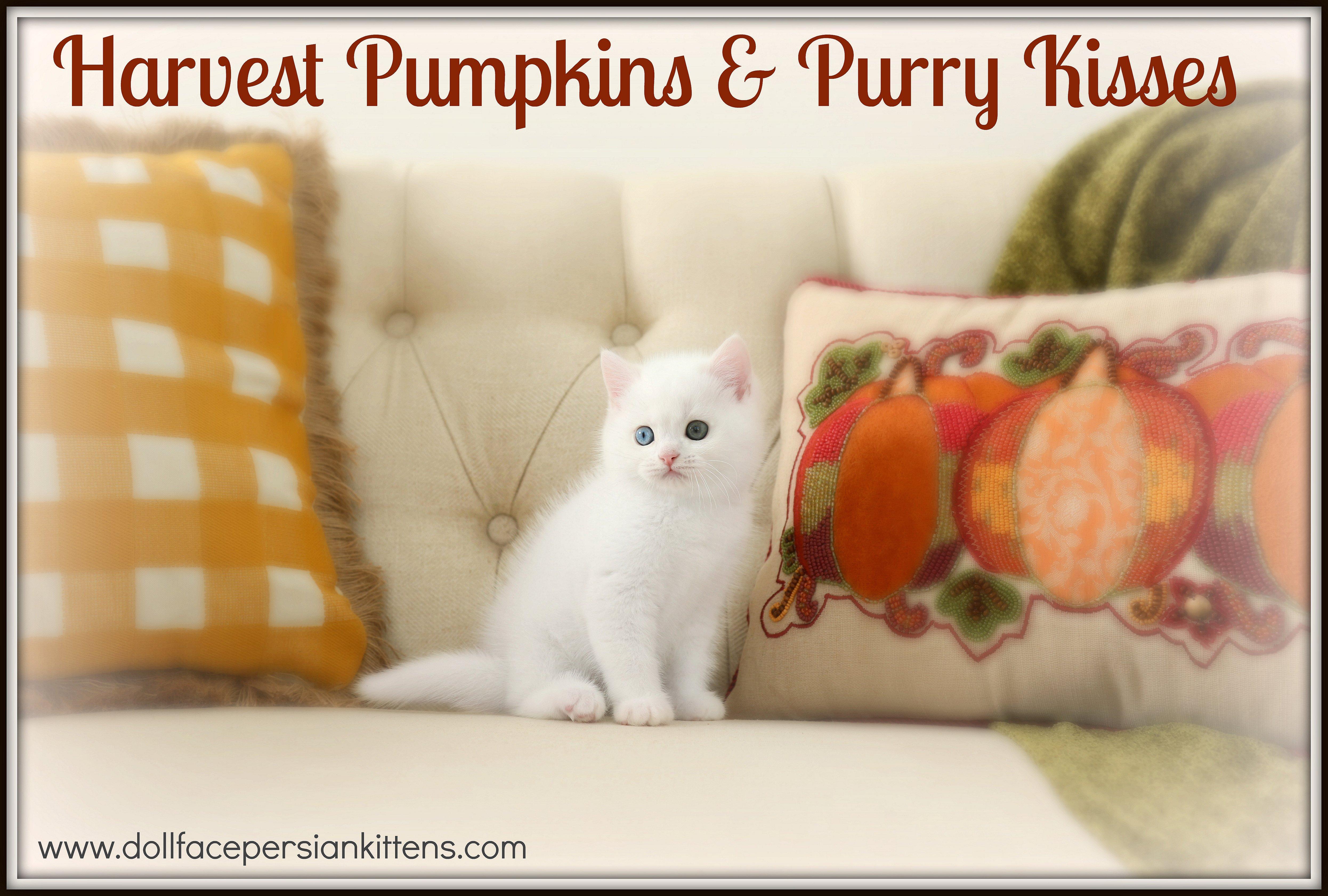 White Exotic Short Hair Persian Kitten