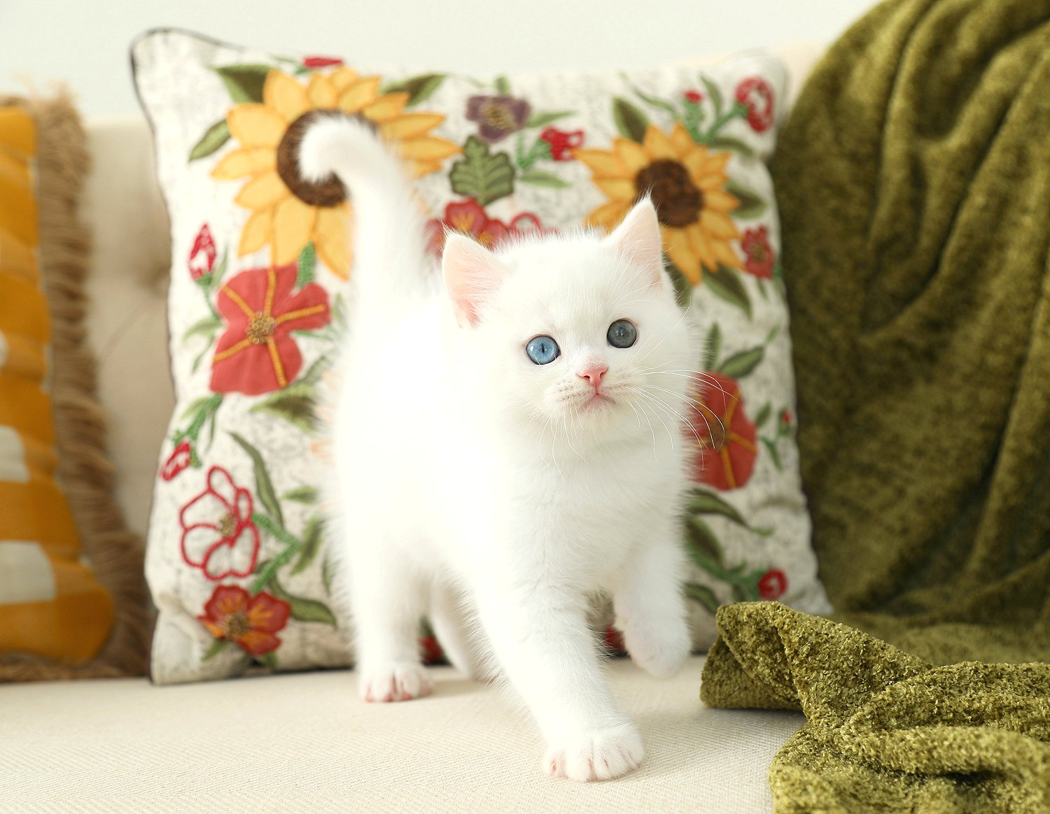 Doll Face Persian Kittens White Persian Kitten