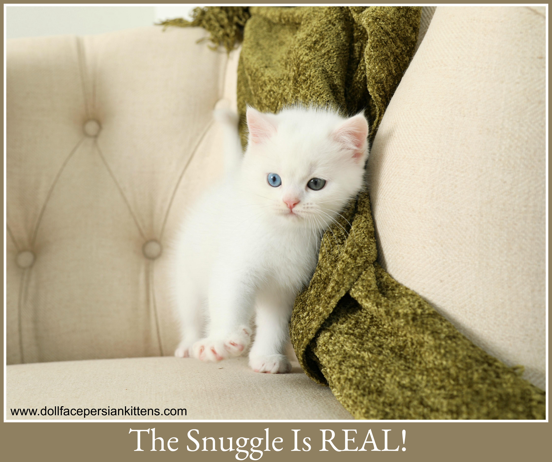 Exotic Short Hair White Persian Kitten