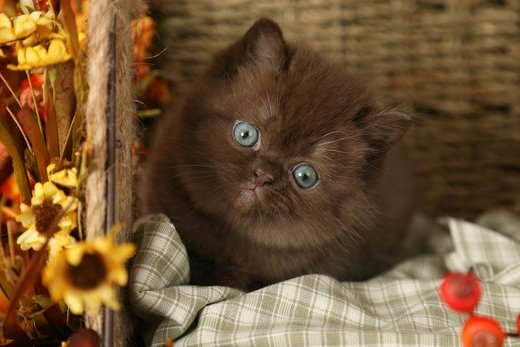 Chocolate Persian Kitten for Sale