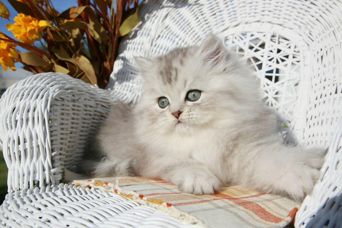 Silver Tip Persian Kitten