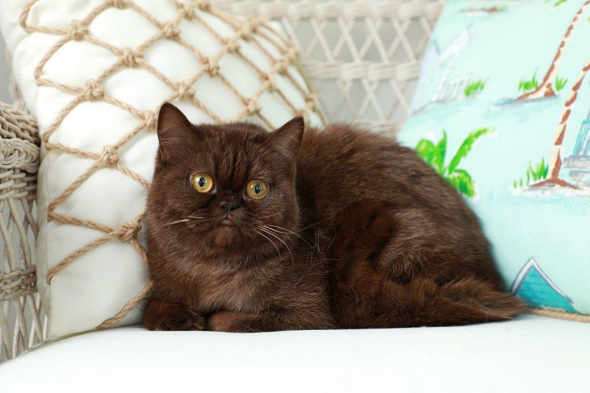 Chocolate Exotic Shorthair Persian Cat