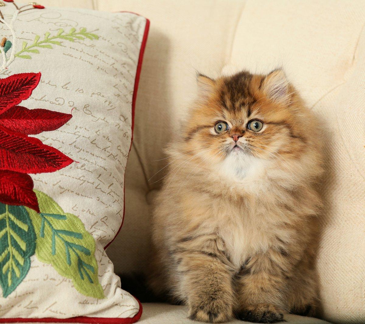 Persian Kittens For Sale In Miami