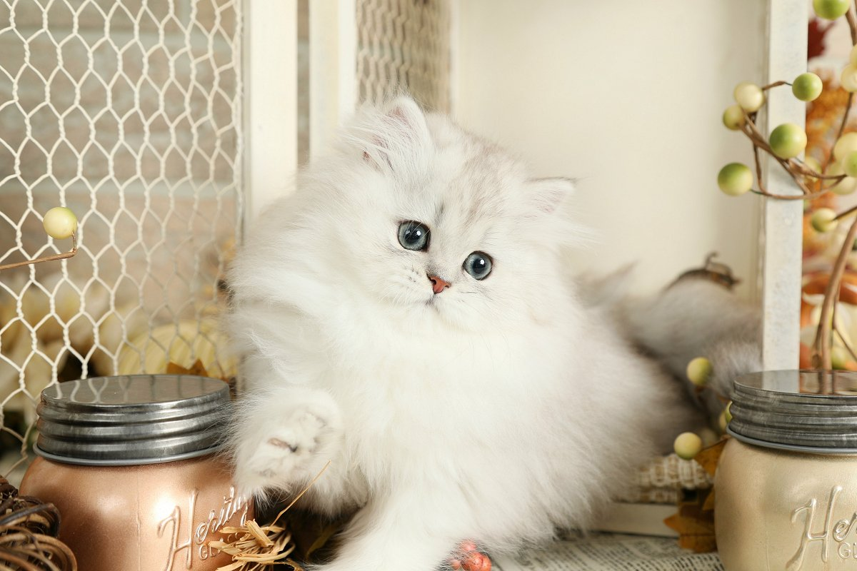 Lightly Shaded Silver Teacup Persian Kitten