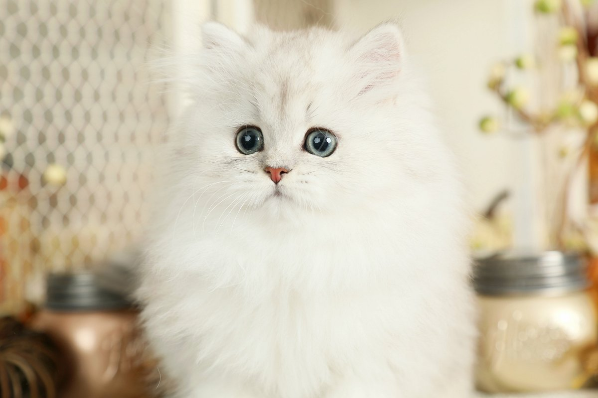 Silver Teacup Persian Kitten
