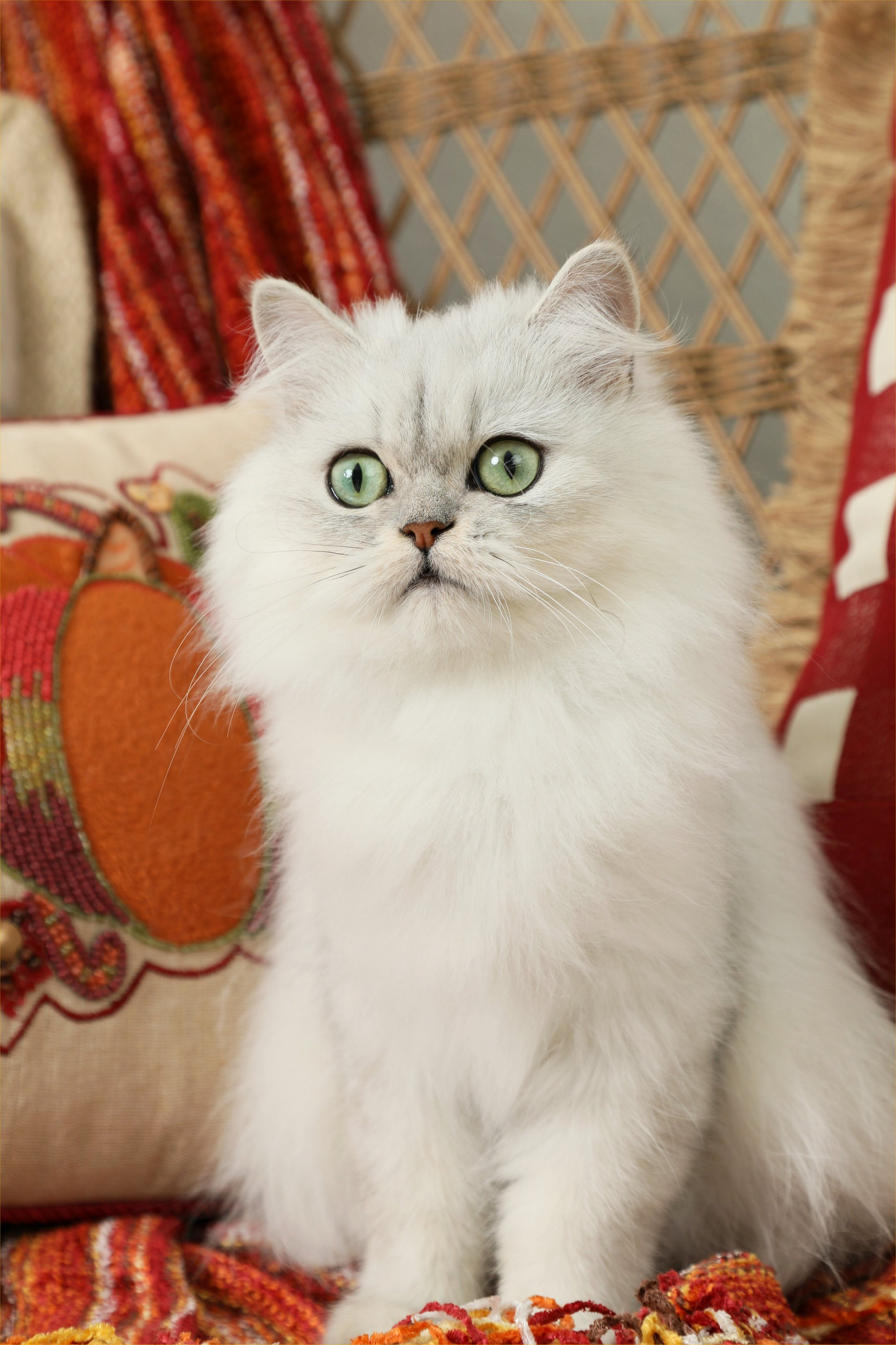 Stella Here Ultra Rare Persian Kittens For Sale 660