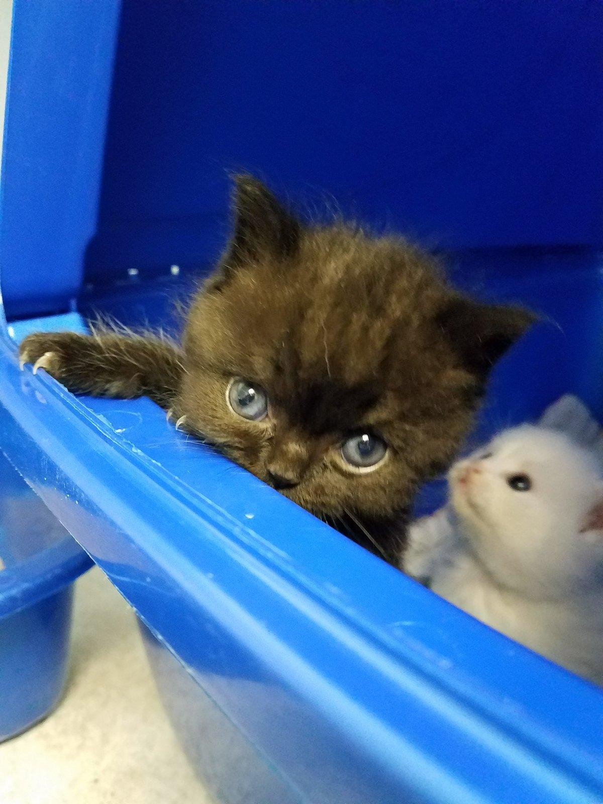 Baby Exotic Shorthair Persian Kitten