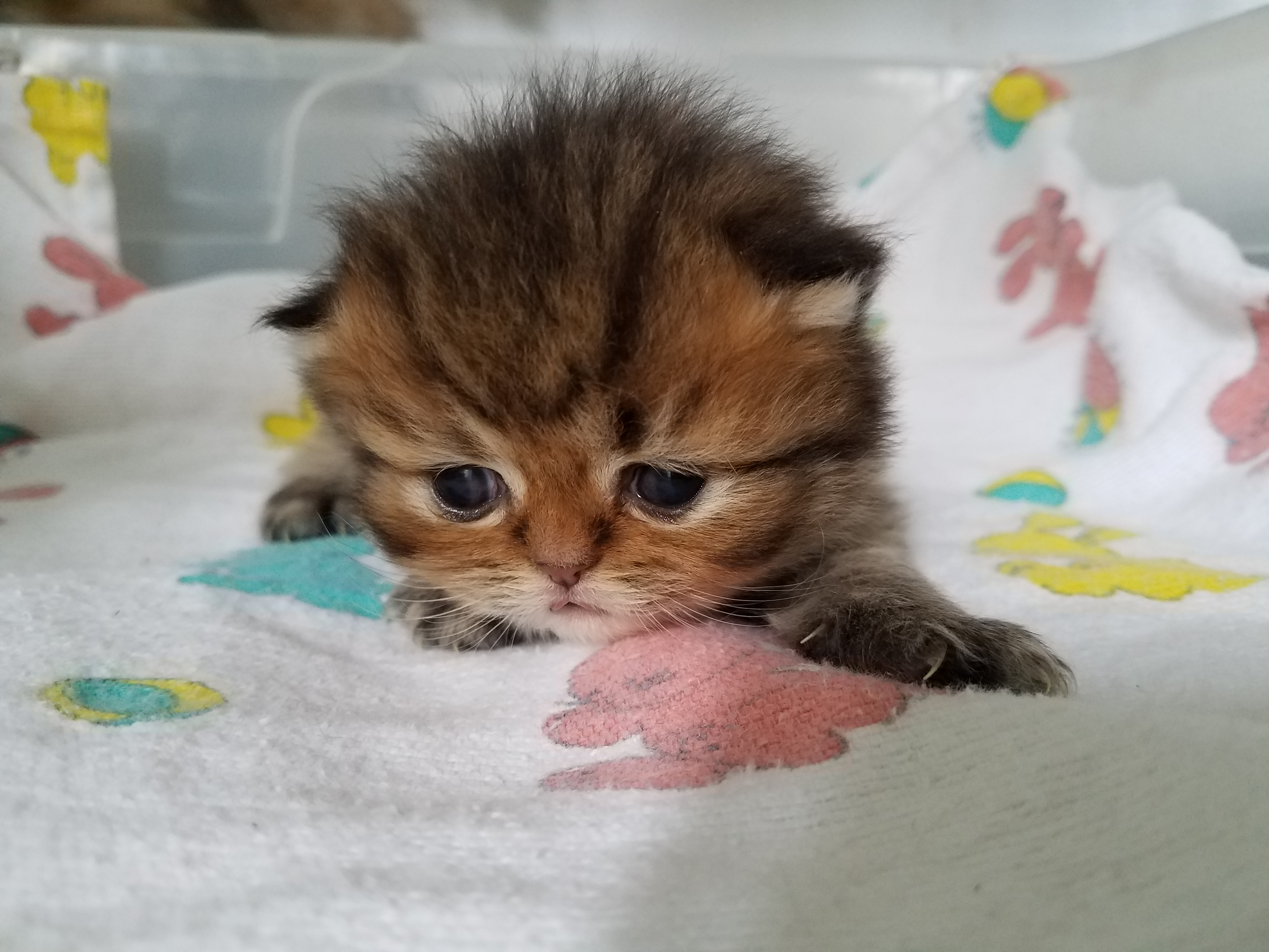 Baby Persian Kittens