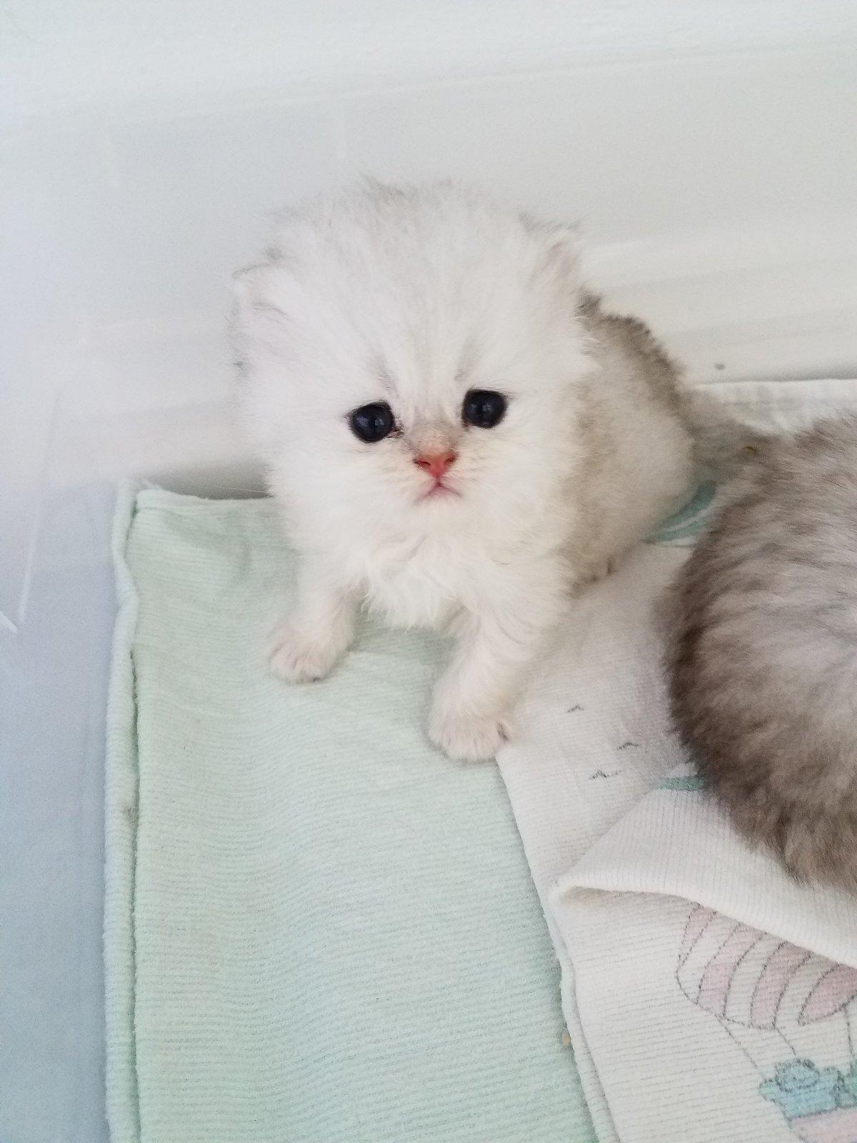Sneak Peak into The Nursery Doll Face Persian KittensUltra Rare