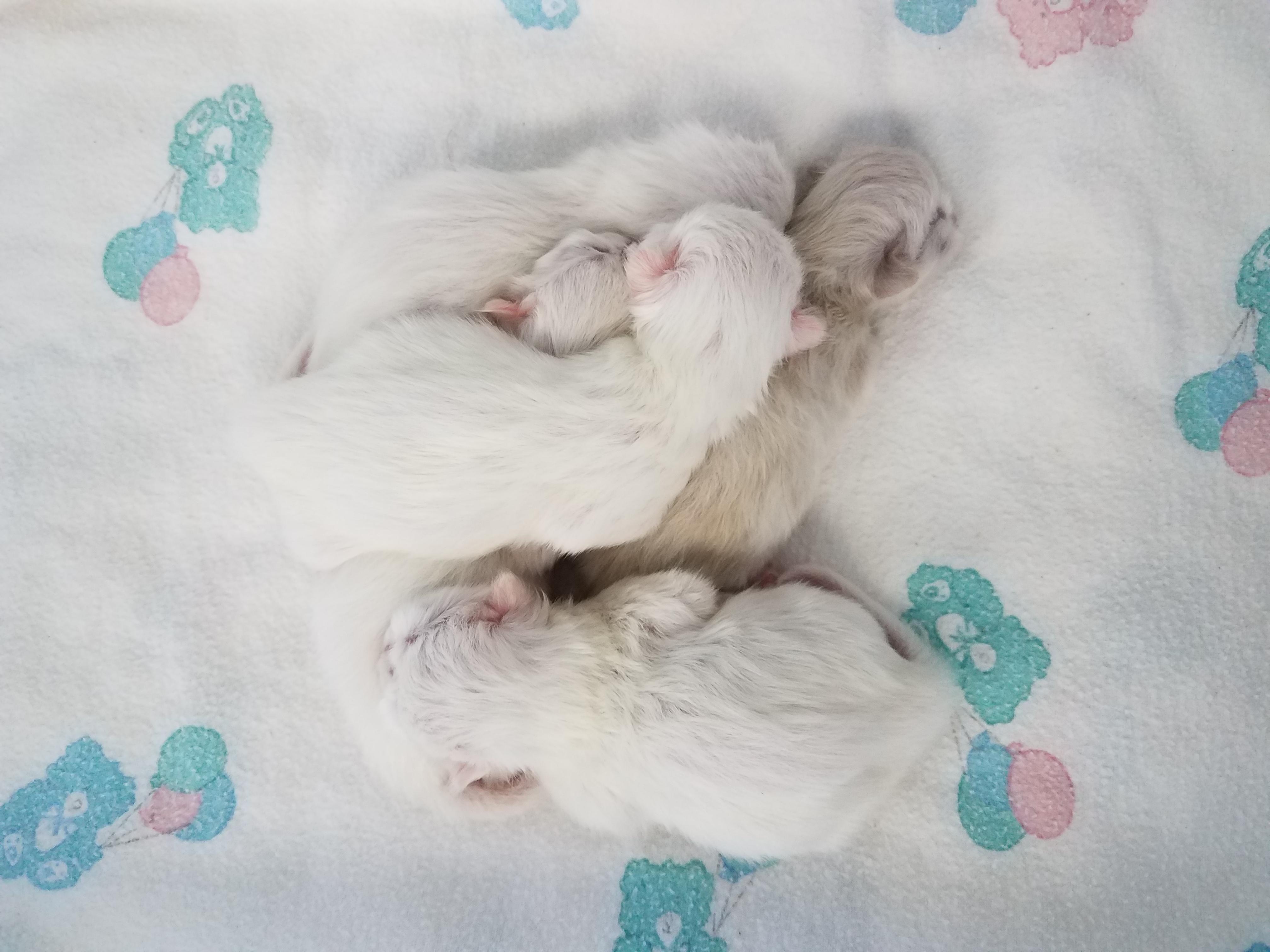 Baby Persian Kitten