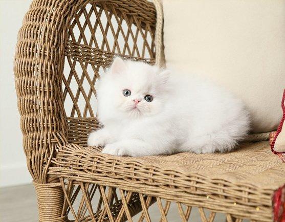 White Teacup Persian Kitten