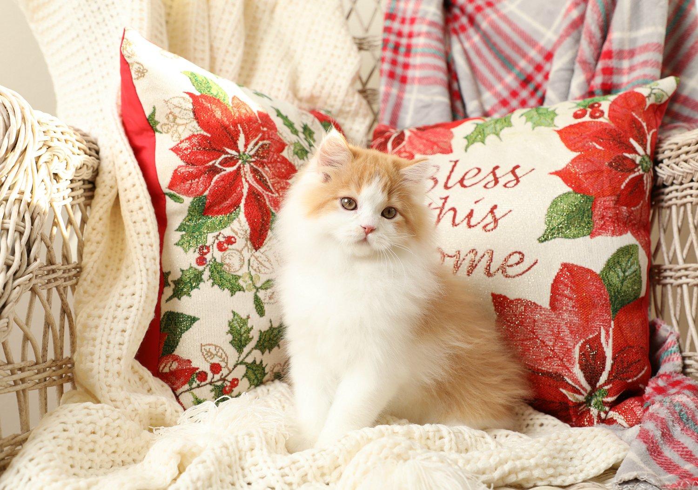 Red & White Persian Kitten