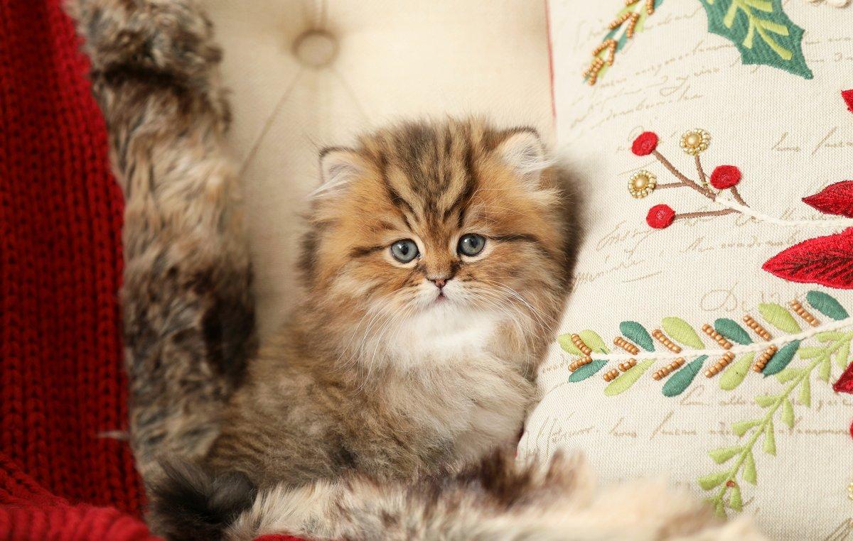 Shaded Golden Tabby Persian Kitten