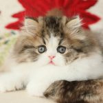 Shaded Golden & White Bicolor Persian Kitten