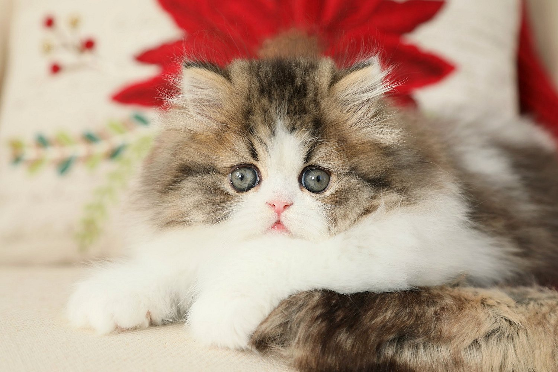 Shaded Golden & White Bicolor Persian Kitten