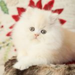 Strawberry Blonde Persian Kitten